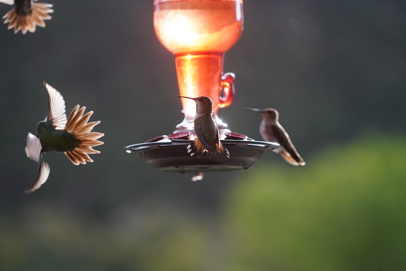 Black chinned and rufous hummingbirds drink two full feeders each day.